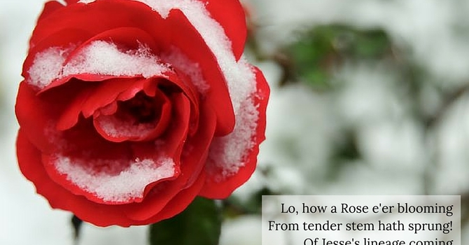 Advent Carol ~ Lo How a Rose E'er Blooming image