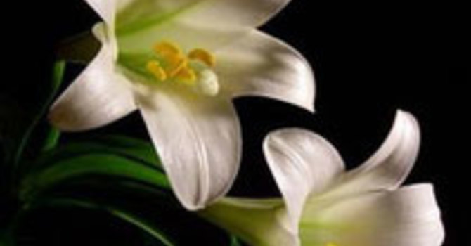 Easter Lily image
