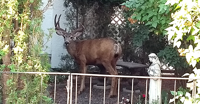 DISPLACED DEER at Williams Lake image