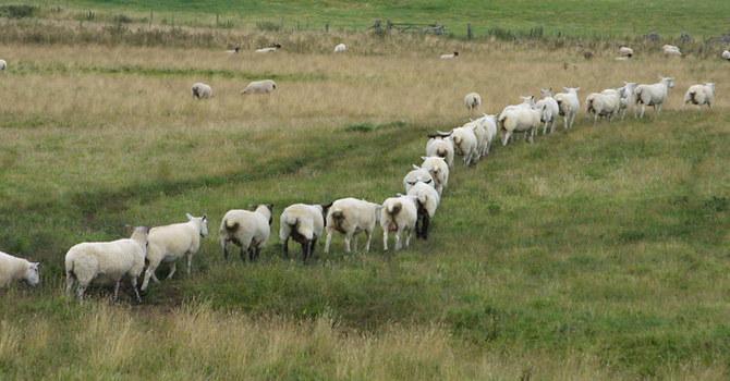 Sheep Mentality image
