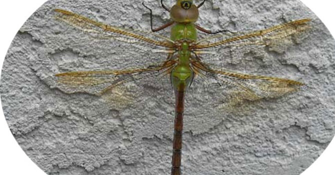 Simply a Dragonfly image