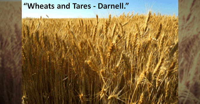 Wheats and Tares - Darnell