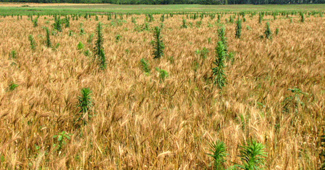 """""""Weeds in the Wheat"""""""