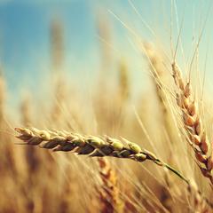 53080 in wheat field
