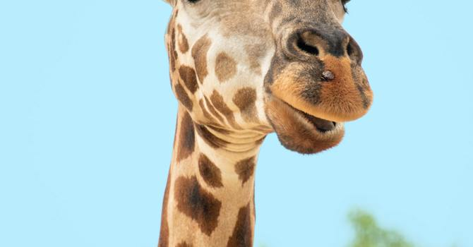 Forgiveness According to Giraffe