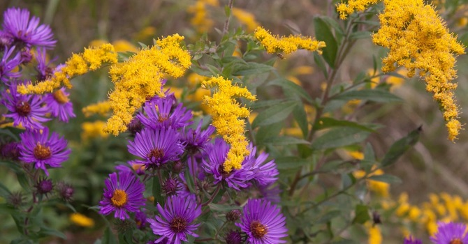 """Aster and Goldenrod"""