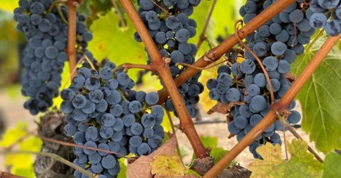 30th July - The fruit of the Vine
