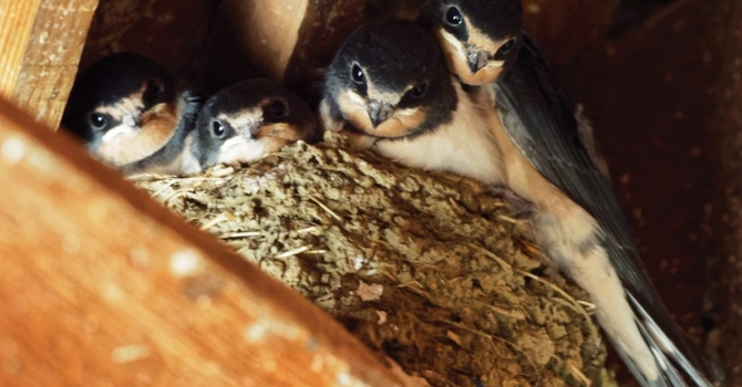 Barn swallows project gets Foundation support image