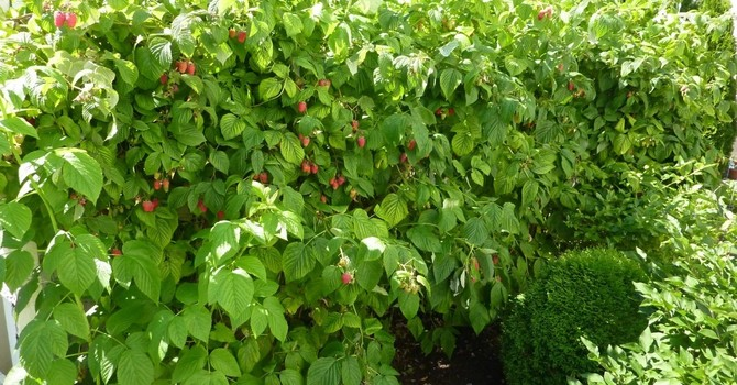 The Same Soil Produces Fruit as Well as Weeds image