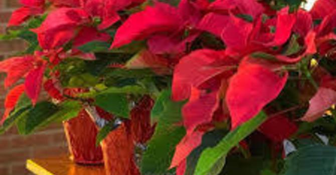 Christmas Poinsettias