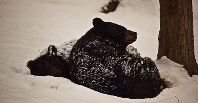 Bears tobogganed down the hills     image