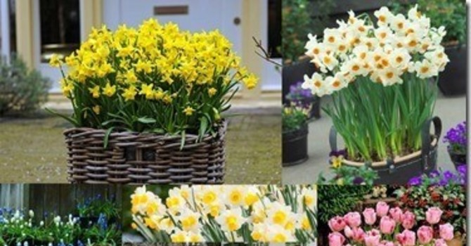 Spring Bulb Sale