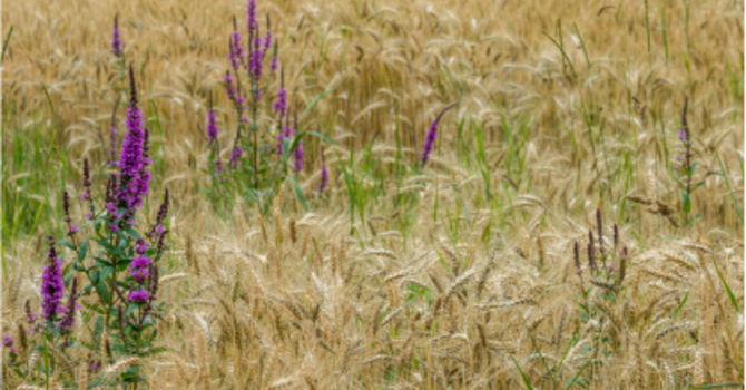Story ~ Weeds and  The Wheat  image