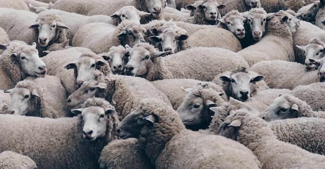 29th June 7.8 Billion Grubby Homogeneous Sheep
