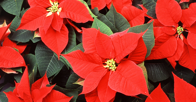 This Month's Poinsettias image