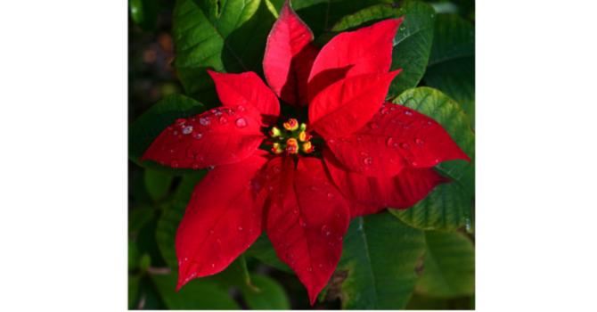 CHRISTMAS FLOWERS image
