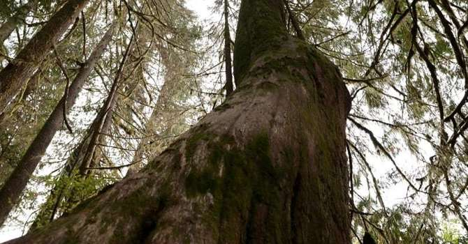 Old Growth Forest in BC image