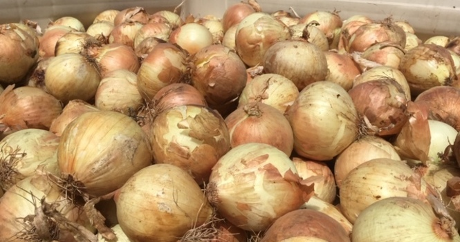 Working on Onions!