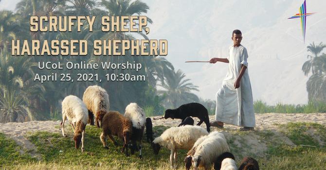 Scruffy Sheep, Harassed Shepherd - Easter 4
