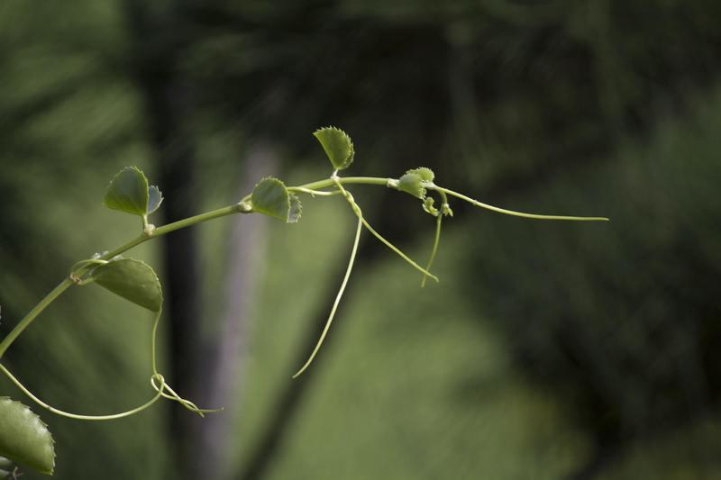 Growing the Vine