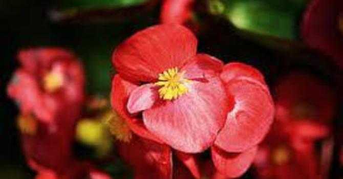 Begonias for Pentecost